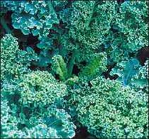 dwarf curled kale