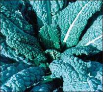 lacianato kale